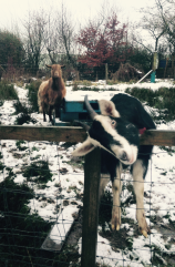 Some very friendly goats of Dad's