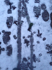 Prints in the snow - cat, chicken, human and wheelbarrow